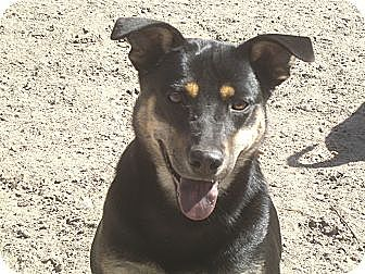 Doberman Pinscher Mix Dog for adoption in Crawfordville, Florida - Jolee