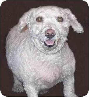 Bichon Frise/Poodle (Miniature) Mix Dog for adoption in New York, New York - Mia