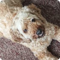Adopt A Pet :: Teddy - Brick, NJ