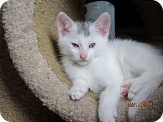 Domestic Shorthair Kitten for adoption in Southington, Connecticut - Teddi and Marty