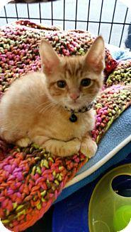 Domestic Shorthair Kitten for adoption in Voorhees, New Jersey - Francis-PetValu Voorhees