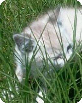 Domestic Shorthair Kitten for adoption in Grand Saline, Texas - Sushi