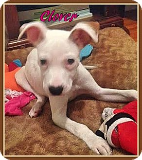 Pit Bull Terrier Mix Puppy for adoption in Ahoskie, North Carolina - Clover