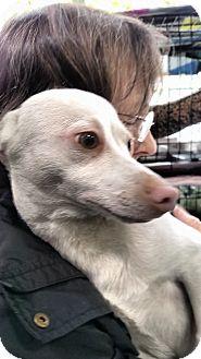 Cairn Terrier/Dachshund Mix Puppy for adoption in Yuba City, California - Bosley