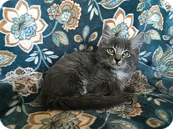 Maine Coon Kitten for adoption in Tampa, Florida - Mario
