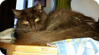 Balinese Cat for adoption in Glendale, Arizona - Mr. Whiskey