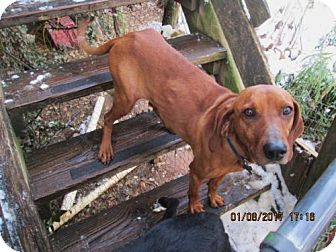 Redbone Coonhound Dog for adoption in Rutherfordton, North Carolina - LUCY