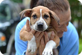 Boxer Mix Puppy for adoption in Acworth, Georgia - Maddox
