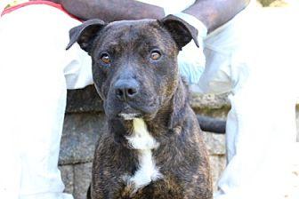 Pit Bull Terrier Mix Dog for adoption in Greensboro, North Carolina - Sanya