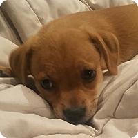 Adopt A Pet :: Lil Bit - St Petersburg, FL