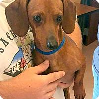 Adopt A Pet :: Piney Davidson - Houston, TX