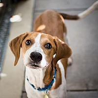 Adopt A Pet :: Pippa - St. Petersburg, FL