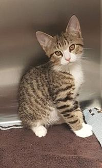 Domestic Shorthair Cat for adoption in Americus, Georgia - Nutmeg