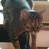 Bengal Cat for adoption in Oswego, New York - Tim and romeo