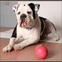 Adopt A Pet :: Mac Daddy - Glendale, AZ