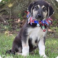 Adopt A Pet :: Genevieve - Denver, CO