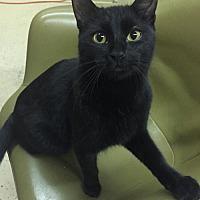 Domestic Shorthair Cat for adoption in Blasdell, New York - Gus Gus