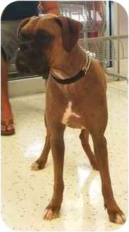 Boxer Dog for adoption in Jacksonville, Florida - Hamburglar(Hammy)