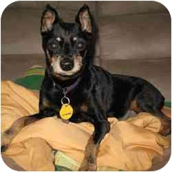 Miniature Pinscher Mix Dog for adoption in Greensboro, North Carolina - Abby