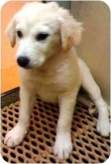 Labrador Retriever/Terrier (Unknown Type, Medium) Mix Puppy for adoption in Tarzana, California - Tommy