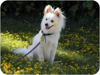 American Eskimo Dog Dog for adoption in Richmond, California - Snowball