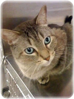 Domestic Shorthair Cat for adoption in Houston, Texas - Kip
