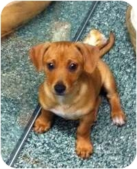 Dachshund/Chihuahua Mix Puppy for adoption in Simi Valley, California - King
