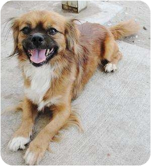 Pekingese/Terrier (Unknown Type, Small) Mix Dog for adoption in Edmonton, Alberta - Donnie