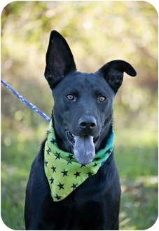 Labrador Retriever/German Shepherd Dog Mix Puppy for adoption in Portsmouth, Rhode Island - Waylon- calm and gentle!