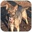 Photo 2 - German Shepherd Dog Mix Dog for adoption in Islip, New York - Jasper