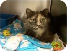 Domestic Mediumhair Cat for adoption in Medina, Ohio - Arabella