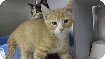 Domestic Shorthair Kitten for adoption in Richboro, Pennsylvania - David Doyle