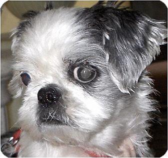 Shih Tzu Dog for adoption in Mays Landing, New Jersey - Emmy-NJ
