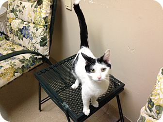 Domestic Shorthair Cat for adoption in Gary, Indiana - Claudia
