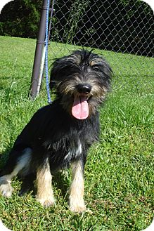Airedale Terrier/Giant Schnauzer Mix Puppy for adoption in ROCKMART, Georgia - LULU