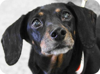 Dachshund Mix Dog for adoption in Palatine, Illinois - Max