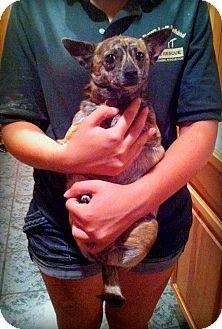 Chihuahua Dog for adoption in Groveland, Florida - Skittles