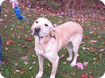 """Labrador Retriever Dog for adoption in New Castle, Pennsylvania - """" Shane """""""