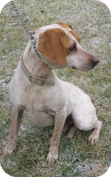 Redtick Coonhound/Cattle Dog Mix Dog for adoption in Mineral, Virginia - Speckles