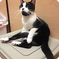 Domestic Shorthair Kitten for adoption in Miami, Florida - Josie