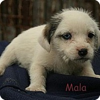 Adopt A Pet :: Mala ADOPTION PENDING - Danbury, CT