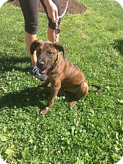 Great Dane/Hound (Unknown Type) Mix Puppy for adoption in Philadelphia, Pennsylvania - Roman