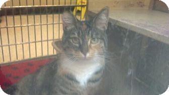 Domestic Shorthair Cat for adoption in Avon, Ohio - Dori