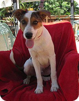 Australian Shepherd/Labrador Retriever Mix Dog for adoption in Oakland, Arkansas - Jasper