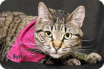 Domestic Shorthair Cat for adoption in Kerrville, Texas - Buster