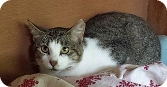 Domestic Shorthair Cat for adoption in Manitowoc, Wisconsin - *Trotsky* (OUTDOOR)
