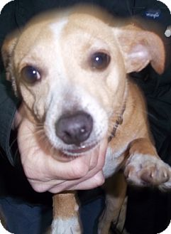 Chihuahua/Jack Russell Terrier Mix Dog for adoption in Greenville, Kentucky - ollie