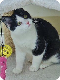 Domestic Shorthair Cat for adoption in Chambersburg, Pennsylvania - Draco