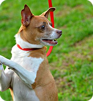 Jack Russell Terrier/Chihuahua Mix Dog for adoption in Siler City, North Carolina - Larkin