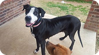 Great Dane Mix Dog for adoption in White Settlement, Texas - Mara aka Daisy